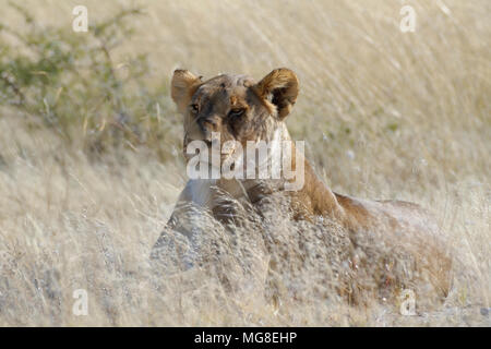 Lioness Panthera Leo Lying In The Tall Grass Head Up Etosha