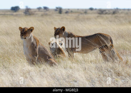 Lionesses (Panthera leo) in the dry grass, looking round, alert, Etosha National Park, Namibia - Stock Photo