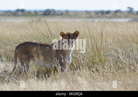 Lioness (Panthera leo) standing in tall grass, alert, Etosha National Park, Namibia - Stock Photo