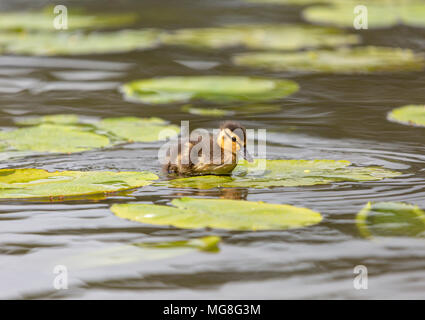 Lonely mallard duckling sat on lily in the middle of lake during the day - Stock Photo