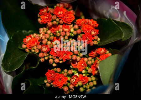 Red Madagascar Widow's-Thrill (Kalanchoe blossfeldiana) in a bouquet form - Stock Photo