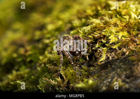 Walnut orb weaver (Nuctenea umbratica) A large and flattened orb-weaving spider in the family Araneidae - Stock Photo
