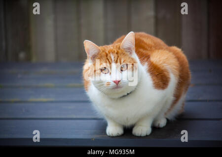 young ginger tabby cat sitting on top of a garden storage box - Stock Photo