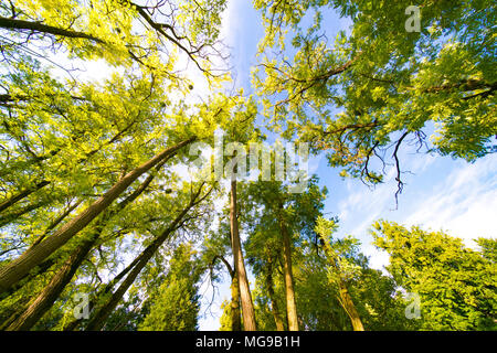 Tree canopy, low angle view. - Stock Photo