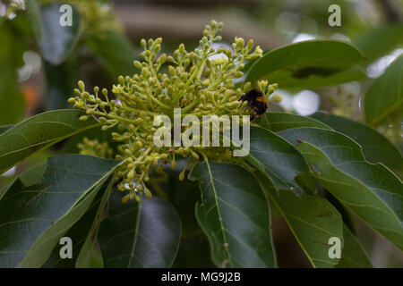 Avocado trees in flower at pollination time. - Stock Photo