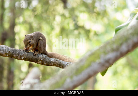 horizontal cropped Colored photo of an asian squirrel while eating its food on a tree branch with green nature blurry background in a park in singapor - Stock Photo