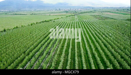 drone photography,aerial view of orchards in resen, prespa, macedonia,image - Stock Photo