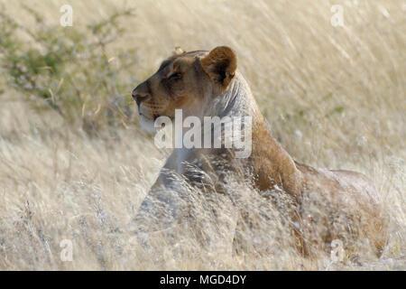 Lioness (Panthera leo) lying in tall grass, alert, Etosha National Park, Namibia, Africa - Stock Photo