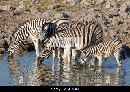 Burchell's zebras (Equus quagga burchellii) standing in water, adults and foal drinking, Okaukuejo waterhole, Etosha National Park, Namibia, Africa - Stock Photo