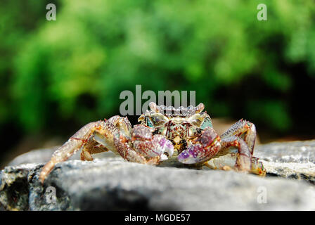 Colorful Crab decapods, yellow red legs and blue green strip carapace or crabshell, sea crab in south coast of Thailand - Stock Photo
