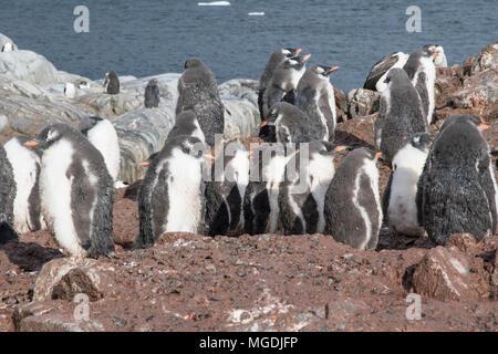 gentoo penguin Pygoscelis papua many chicks gathered together in creche in breeding colony, Port Lockroy, Antarctic Peninsula - Stock Photo