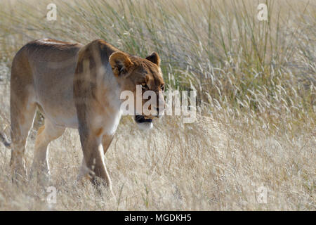 An Alert Lioness Panthera Leo Walking In The Dry Bushes Stock