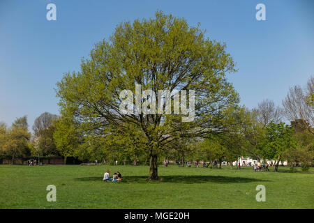 A single tree in springtime on a London Common - Stock Photo