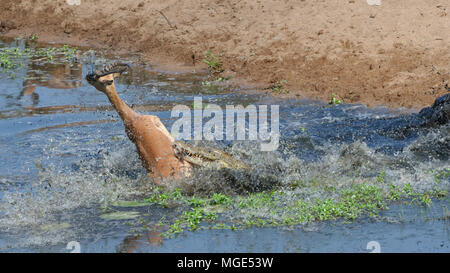 Nile crocodile (Crocodylus niloticus) attacking by surprise a male impala drinking water, fatal attack, Kruger National Park, South Africa, Africa - Stock Photo