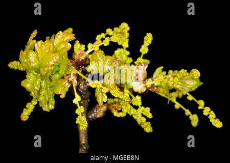 The flowers of an English, or pedunculate oak Quercus robur,in late April 2018 north Dorset England UK. It is also known as the common oak and europea - Stock Photo