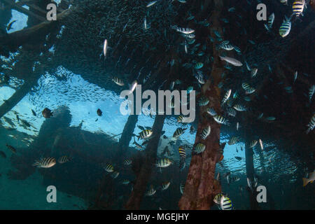 Life under jetty. Wonderful underwater world. Picture was taken in the Ceram sea, Raja Ampat, West Papua, Indonesia - Stock Photo