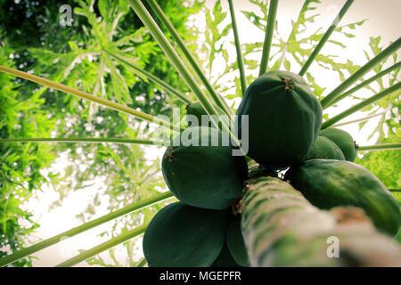 Green papaya fruits hanging on the tree. - Stock Photo