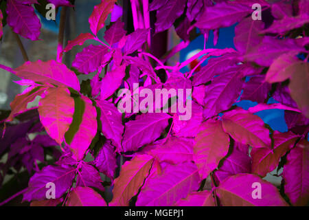 Leaves illuminated by magenta color led light - Stock Photo
