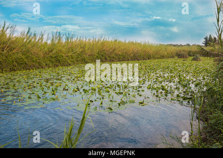 Water Lily Pool of Yarkon National Park - pond full of yellow water lilies (Nuphar lutea).