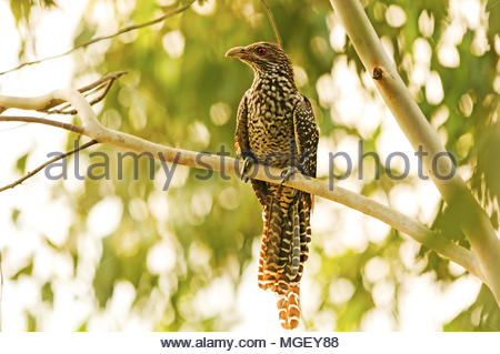 The Asian koel is a large cuckoo.  The female of the nominate race is brownish on the crown and has rufous streaks on the head. - Stock Photo
