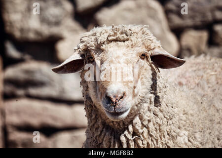 Portrait of a sheep in front of a stone wall background in a farm - Stock Photo
