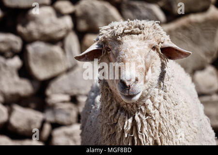 Portrait of a merino sheep in front of a stone wall in a farm - Stock Photo