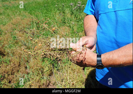 Myriam Rivet's husband inspects a soon-to-be-harvested field of lentils nearby Landos, in the Le Puy region. - Stock Photo