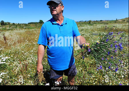 A farmer inspects a soon-to-be-harvested field of lentils nearby Landos, in the Le Puy region. - Stock Photo