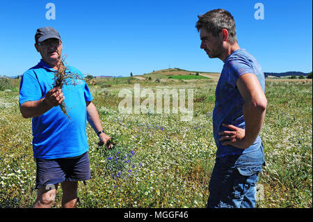 Farmers inspect a soon-to-be-harvested field of lentils nearby Landos, in the Le Puy region. - Stock Photo