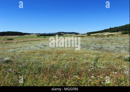 France, Haute-Loire - A soon-to-be-harvested lentil field in the French region of Le Puy. - Stock Photo