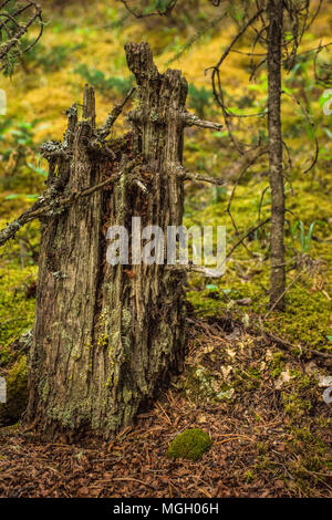 weathered tree stump in the mountain forest - Stock Photo
