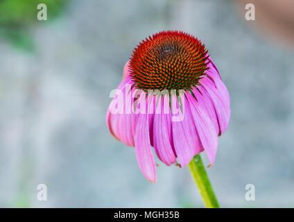 A macro shot of an echinacea bloom. - Stock Photo