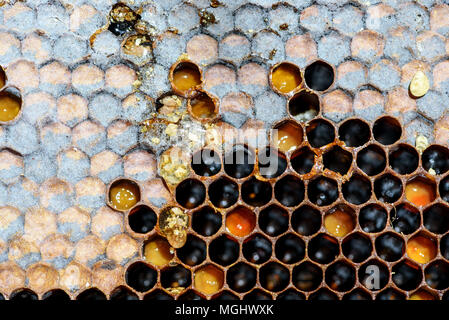 Closeup macro of yellow bee honeycomb in a hexagon pattern with sealed golden sweet honey compartments of the hive interior found wild in nature - Stock Photo