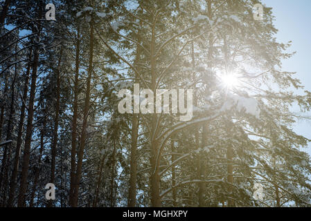 Warm golden sunshine shines through the branches of pine and fir forest trees in the midst of a icy cold winter with fresh snowfall covering the trunk - Stock Photo
