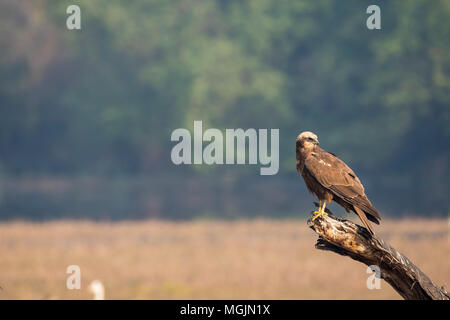 Eurasian Marsh harrier sitting on a tree branch with a clear background inside bharatpur bird sanctuary - Stock Photo