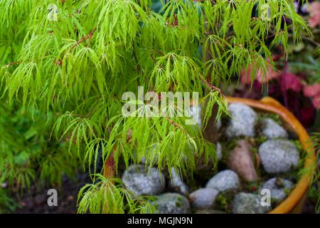 Acer with it bright green foliage - Stock Photo