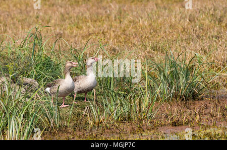 Greylag goose are winter migrants to Indian subcontinent and spend the winters in the region - Stock Photo