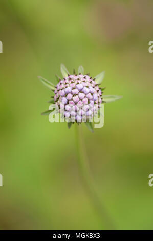Scabious flower bud close-up - Stock Photo