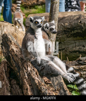 Close up of ring-tailed lemurs, Lemur catta, at Edinburgh Zoo, Edinburgh, Scotland, UK - Stock Photo