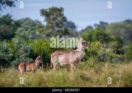 Common waterbuck in Kruger national park, South Africa ;Specie Kobus ellipsiprymnus family of Kobus ellipsiprymnus - Stock Photo