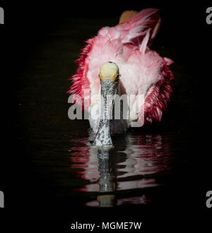 Roseate Spoonbill - Stock Photo