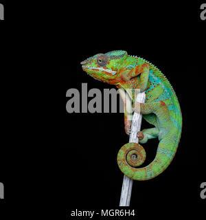 alive chameleon reptile - Stock Photo