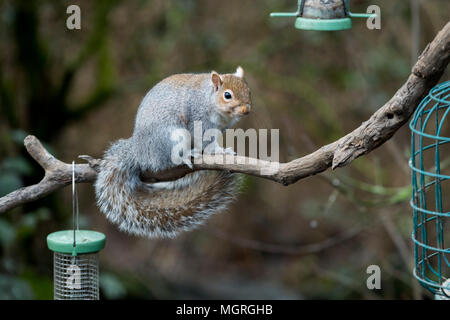Cheeky thief - hungry grey squirrel sitting on tree branch near hanging bird seed feeders ready to steal food - garden, West Yorkshire, England, UK. - Stock Photo