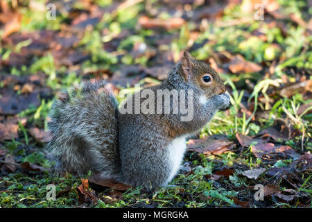 Close-up profile view of grey squirrel feeding on the ground, paws raised to mouth, its long bushy tail curled - garden, West Yorkshire, England, UK. Stock Photo