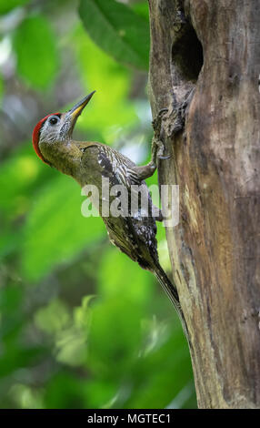 The streak-breasted woodpecker (Picus viridanus) is a species of bird in the family Picidae. Kaeng Krachan National Park, Thailand. - Stock Photo