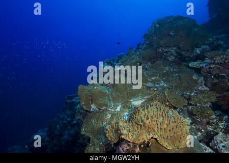 Coral reef with soft corals - Leather Coral (Sinularia gibberosa) - Stock Photo