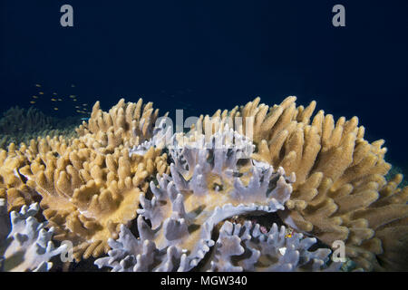 Soft coral - Leather Coral (Sinularia gibberosa) - Stock Photo