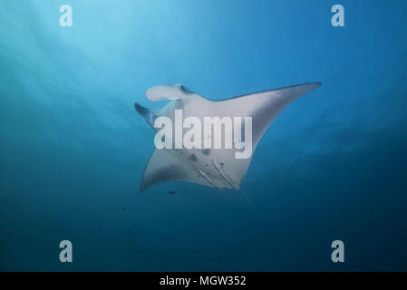 Reef Manta Ray (Mobula alfredi, Manta alfredi ) swim in the blue water - Stock Photo