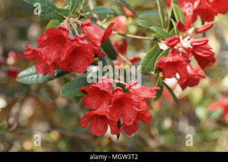 Rhododendron 'May Day' - Stock Photo