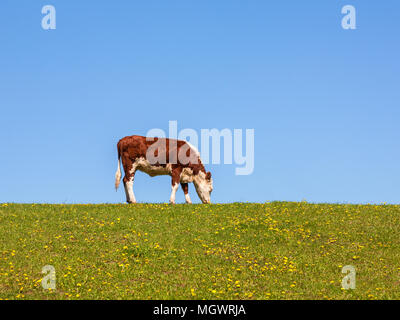 Cow grazing in a meadow against blue sky - Stock Photo
